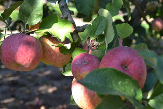 Apples, ready to pick