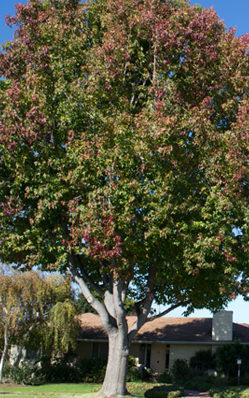 Fully-grown Liquid Amber street tree dwarfs neighborhood