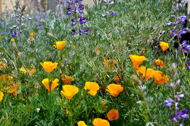 California poppies and Lupin wildflowers, May 2012