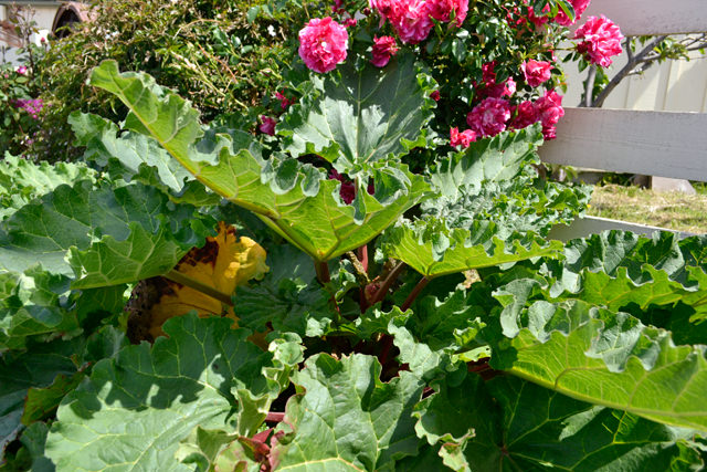 Rhubarb and roses, at The Farm