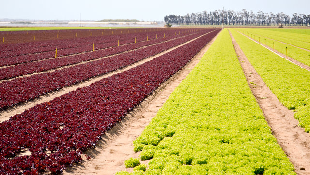 Field of heritage lettuce at the Fanoe Ranch