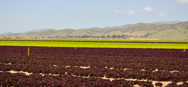 Red and green heritage lettuce crop with Gabilan Mountains in background