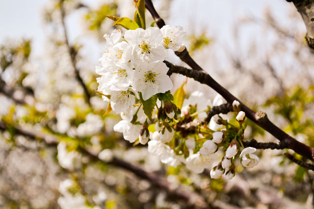 Springtime cherry blossoms