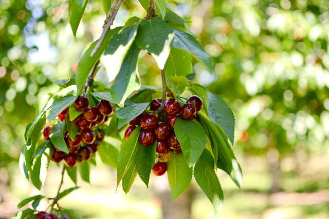 Ripe Bing cherries, ready to pick