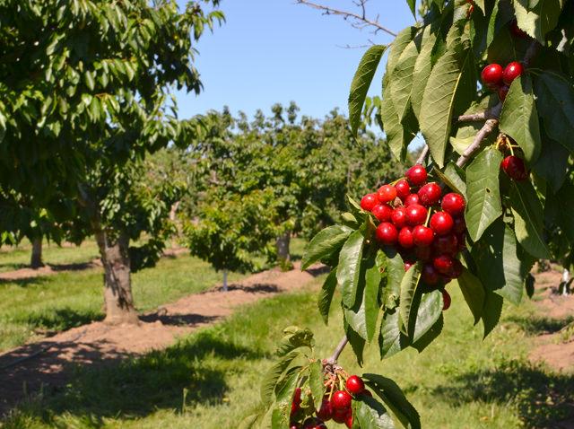Buckley Orchard