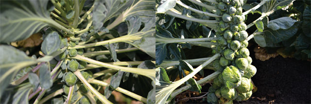 Brussels sprouts on stalks