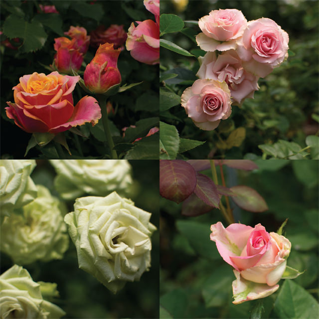 More Roses in Bloom