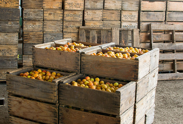 Harvested Blenheim apricots