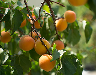 Ripe Blenheim apricots