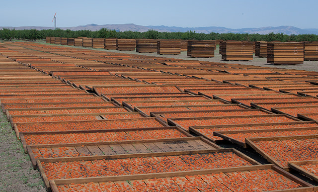 Drying Blenheim apricots