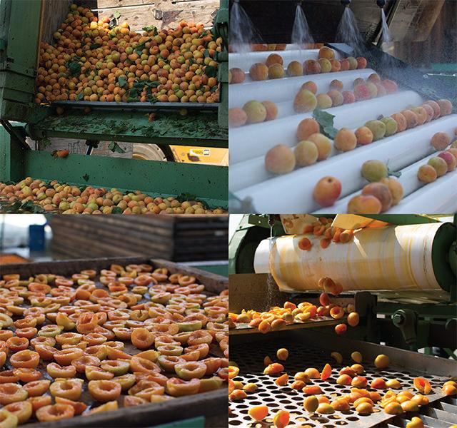 Processing Blenheim apricots