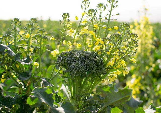 Artisan Sweet Broccoli