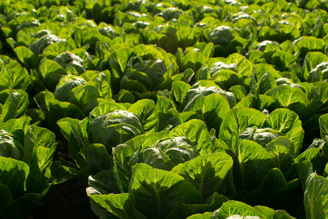 Field of Artisan Romaine