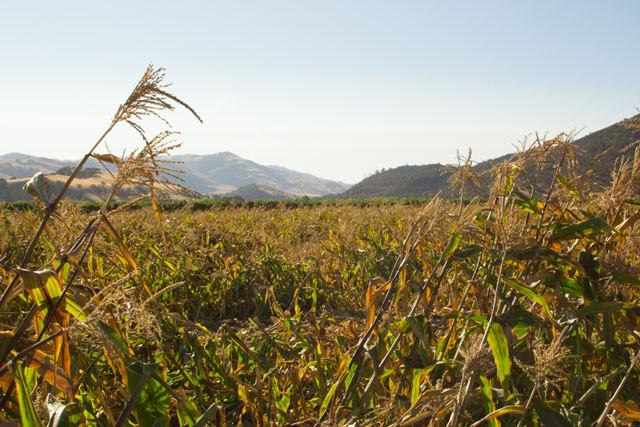 Corn field in Paicines, California