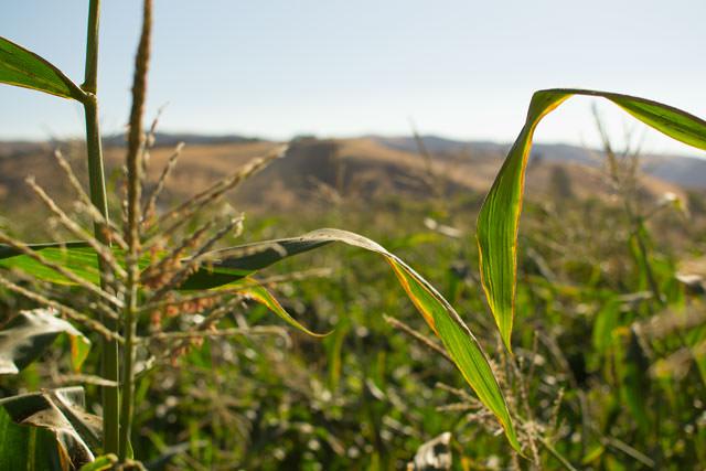 Ruby Jewel cornstalks, Paicines, California