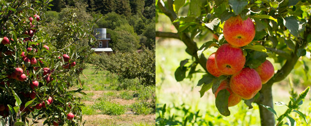 Apples ready to harvest