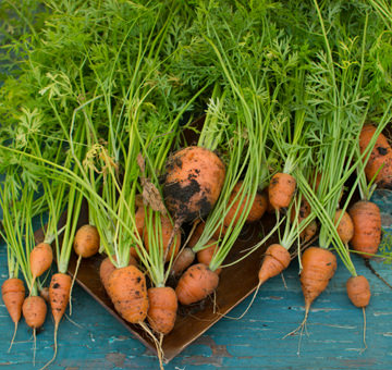 Short N Sweet Carrots