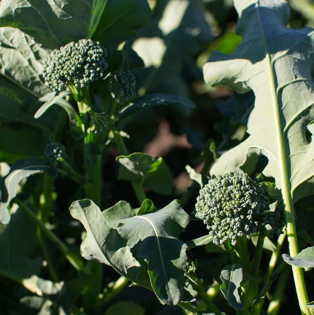Artisan Broccoli