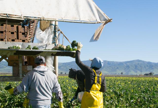 Harvesting Artisan Broccol