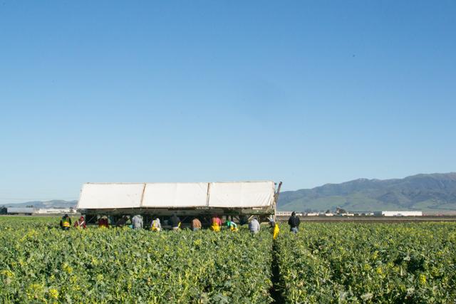 Harvesting Artisan Broccoli
