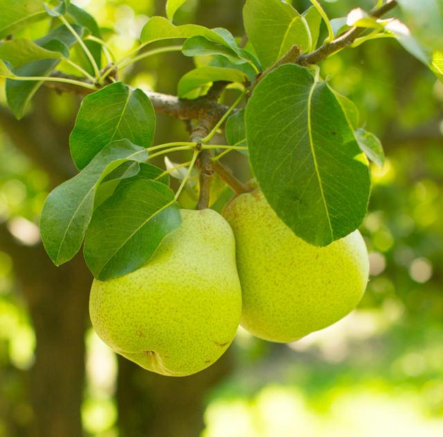 Bartlett Pears Stillwater Orchard