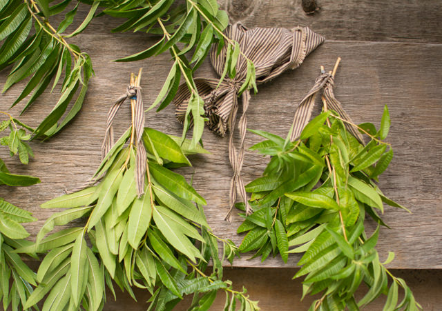 Lemon Verbena Drying